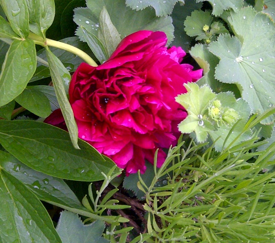 Peonies in Bloom at Belmount Hall
